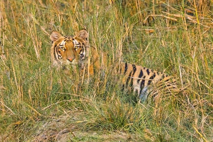 Bengal Tiger, Panthera tigris tigris, Royal Bardia National Park, Bardiya National Park, Nepal, Asia