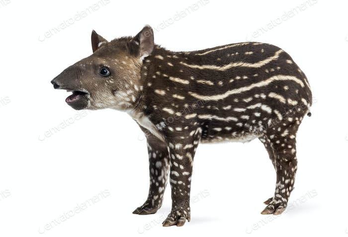 Side view of a young South american tapir, isolated on white, 41 days old