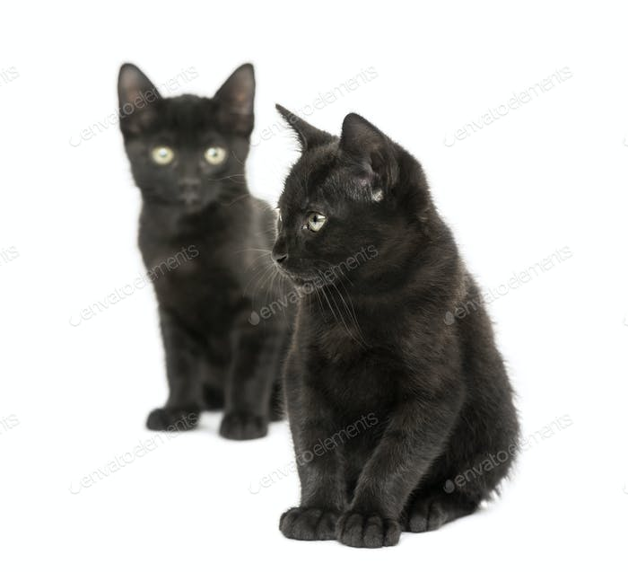 Two Black kittens sitting, 2 months old, isolated on white