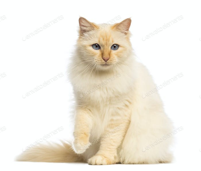 Birman sitting and looking away against white background