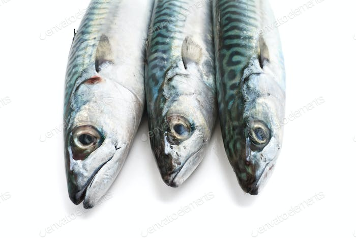 mackerel closeup