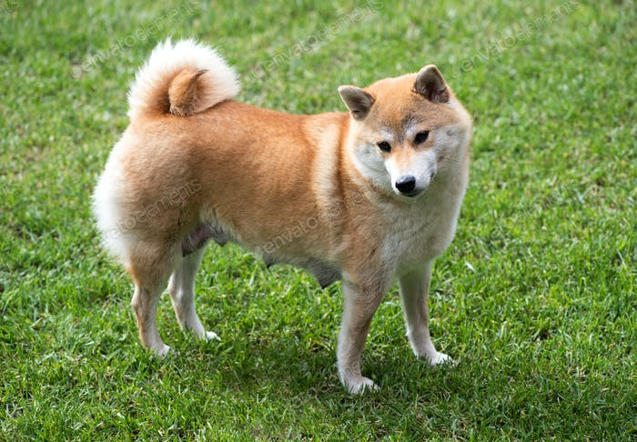 Female shiba inu dog stood on grass