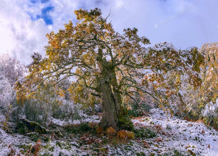 Centenary oak with autumn foliage covered by the first snow