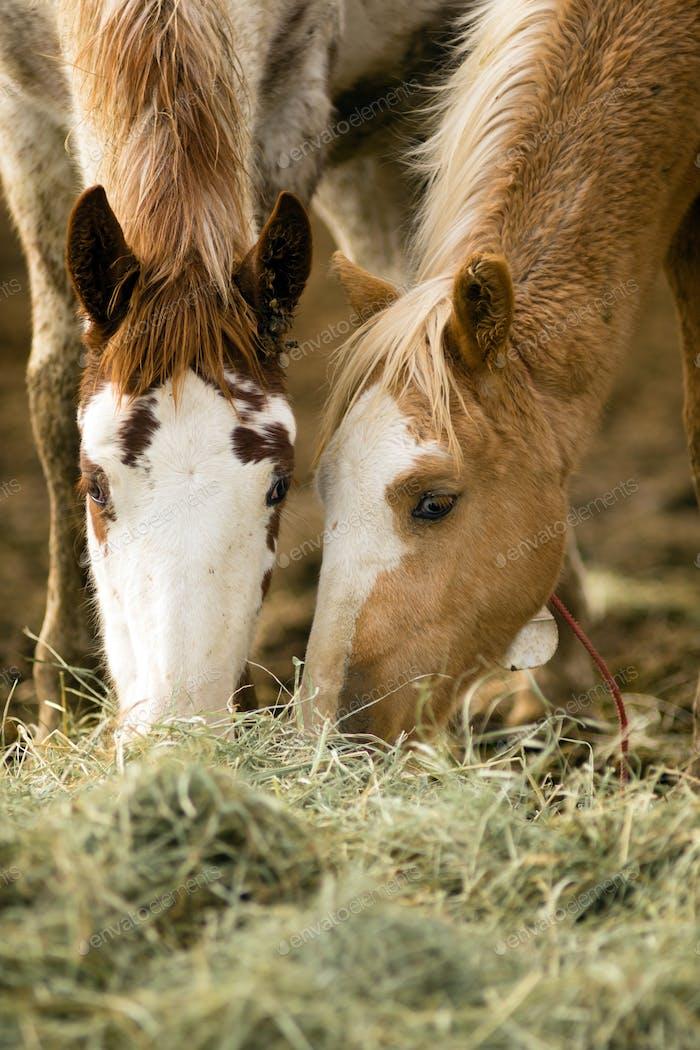 Wild Horse Gesicht Porträt Fütterung Nahaufnahme American Tier