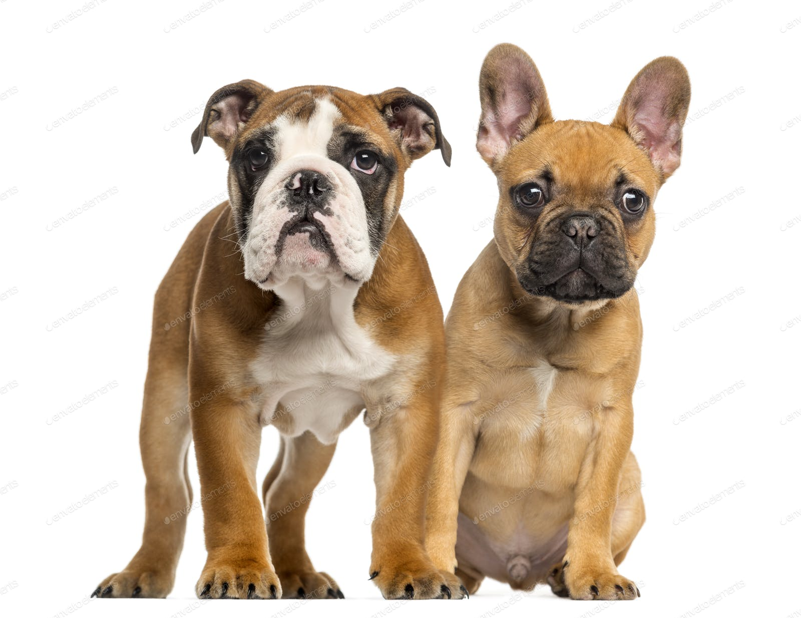 English Bulldog Puppy And French Bulldog Puppies Next To Each Other Isolated On White Photo By Lifeonwhite On Envato Elements