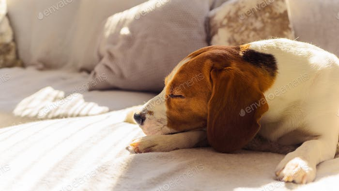 Dog beagle sleep at the couch in the sun light
