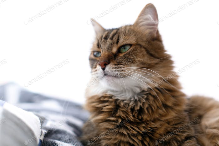Maine coon with serious emotions and funny expression