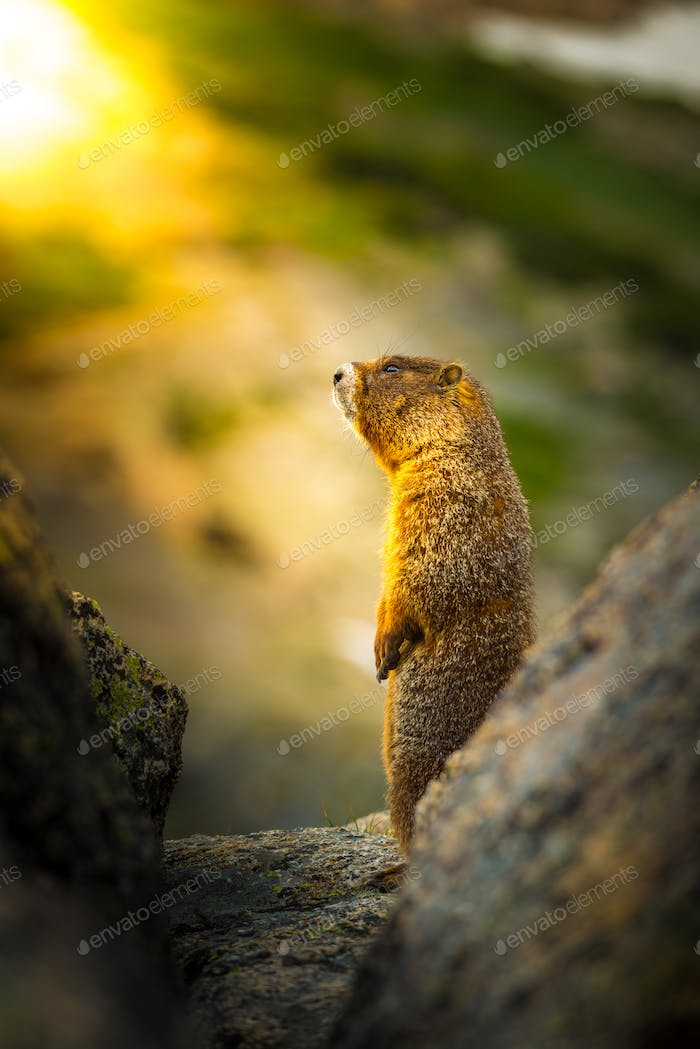 Yellow-bellied marmot at sunset