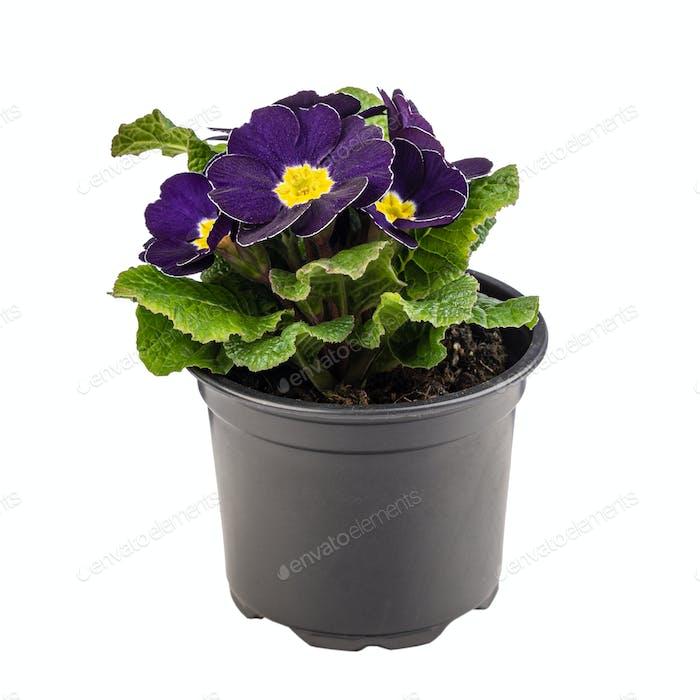 Potted dark purple primula