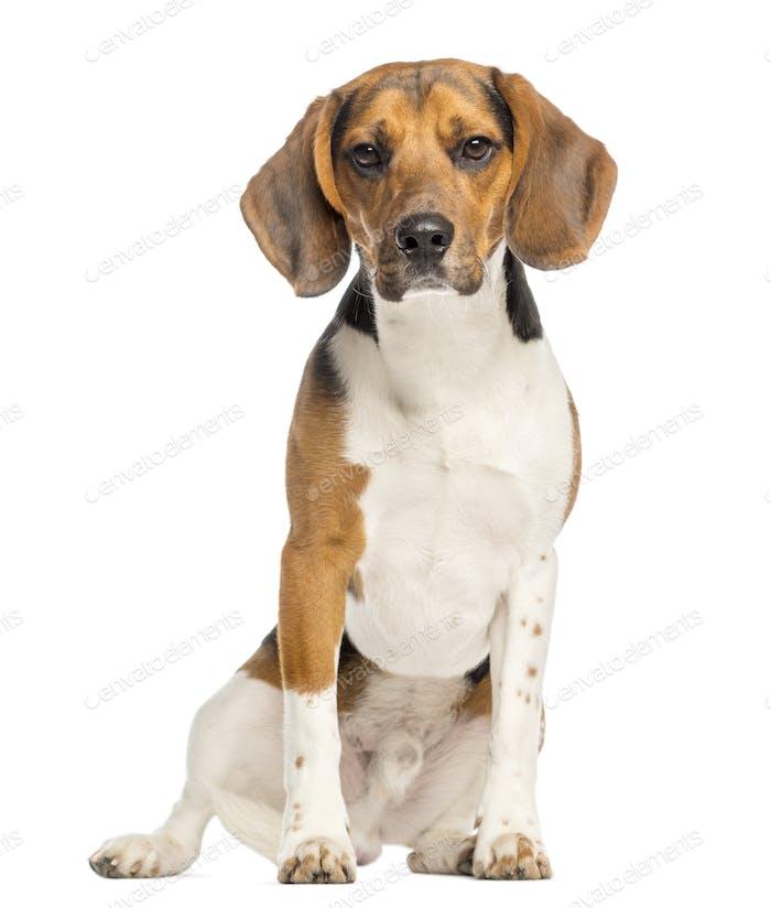Beagle,11 Monate alt, sitzend und mit Blick, isoliert auf weiß