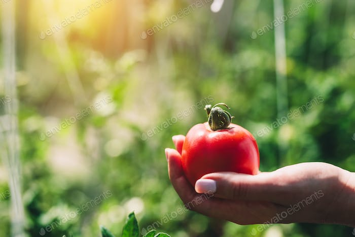 Red tomato held by woman's hand
