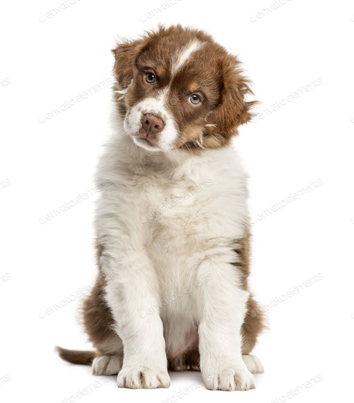 Australian Shepherd puppy sitting, 2 months old, isolated on white