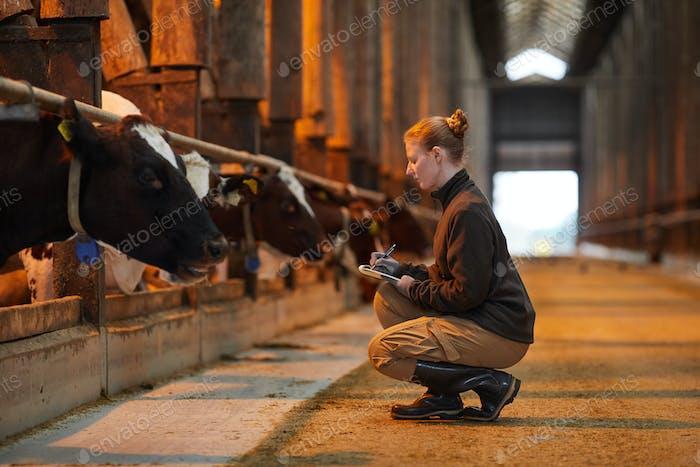 Arbeiterin, die Kühe auf dem Bauernhof inspiziert