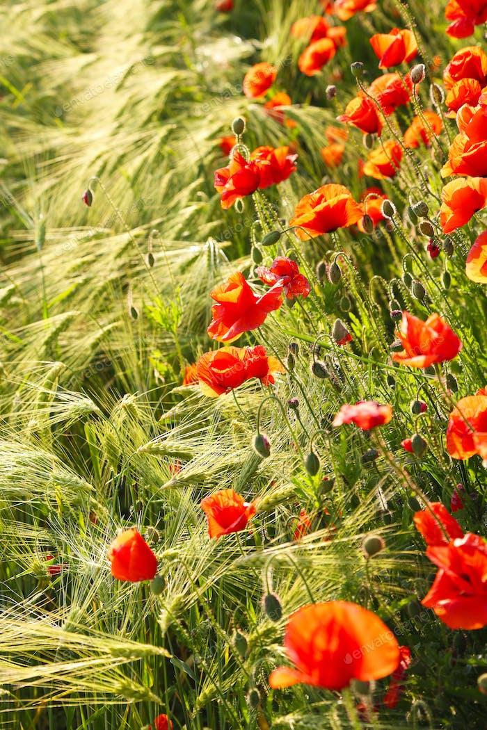 Wilde rote Sommermohnchen im Weizenfeld.
