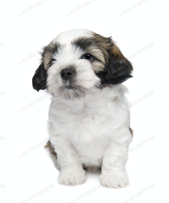 Shih Tzu puppy (7 wweks)
