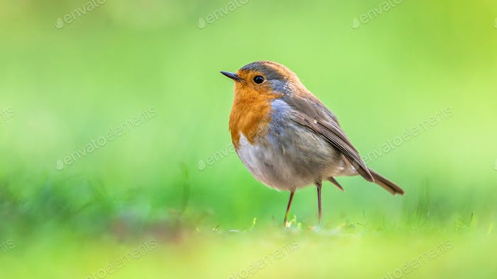 Robin with bright green background