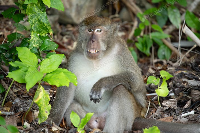 Macaque monkey in the forest.