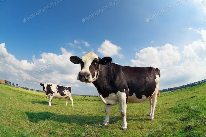 two cows on green pasture on sunny day