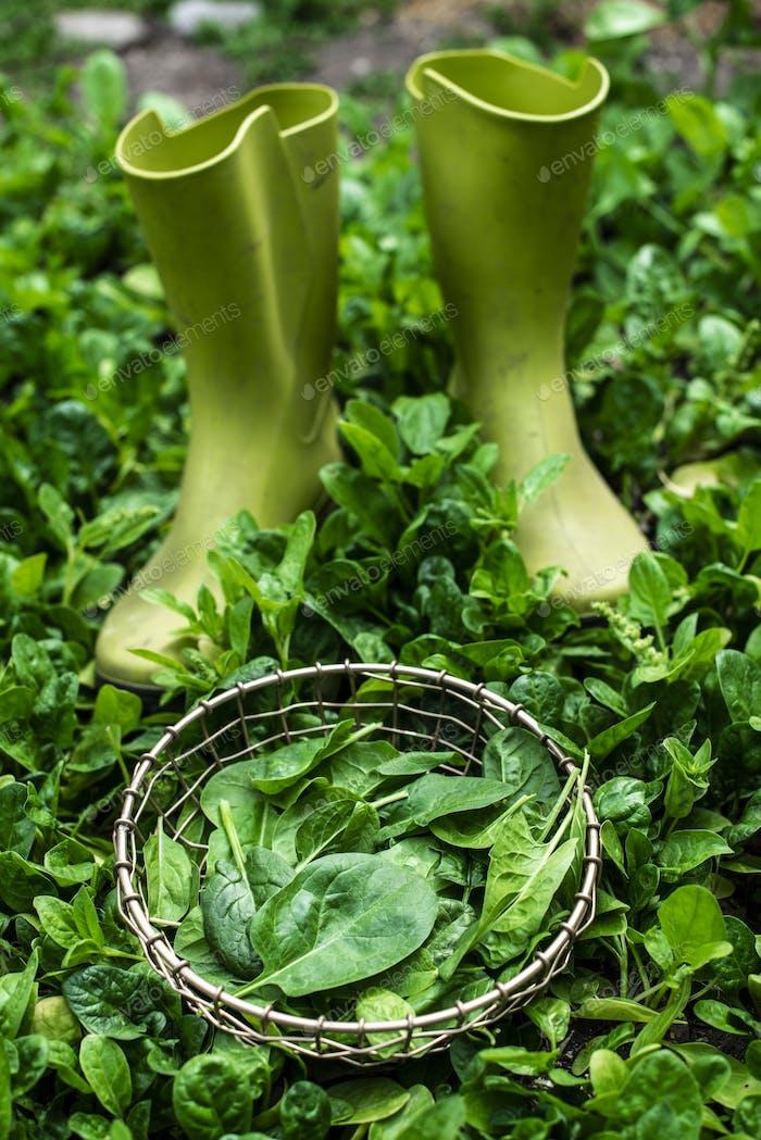 Spinach in organic farm. Home garden.