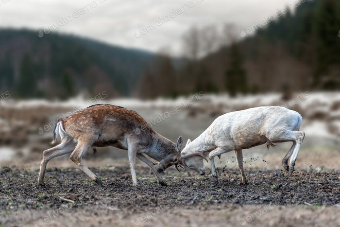 Two men deer fighting with horns for the female attention
