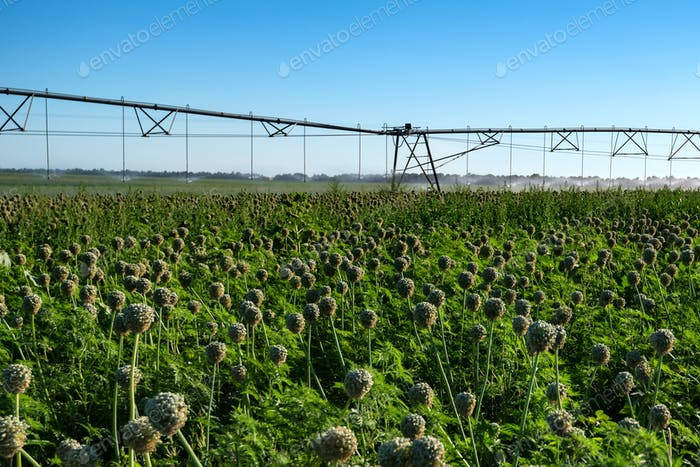 Drip irrigation system in field