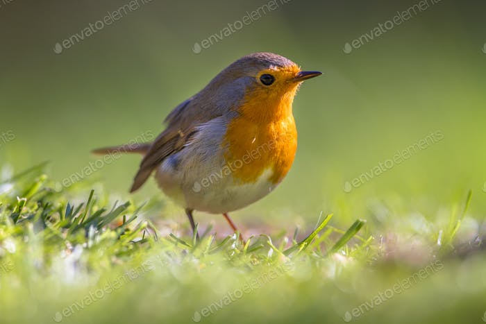 Robin in a grass field