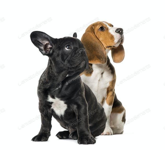 Junge Beagle sitzend mit schwarzen französischen Bulldogge Welpen, nach oben schauen, vor weißem Hintergrund