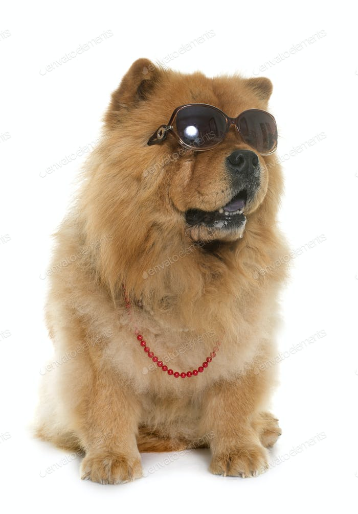 chow chow with glasses