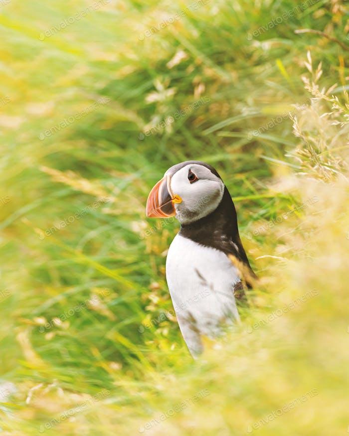 Famous faroese bird - puffin