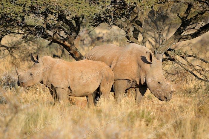 Weißer Nashorn Mutter und Kalb