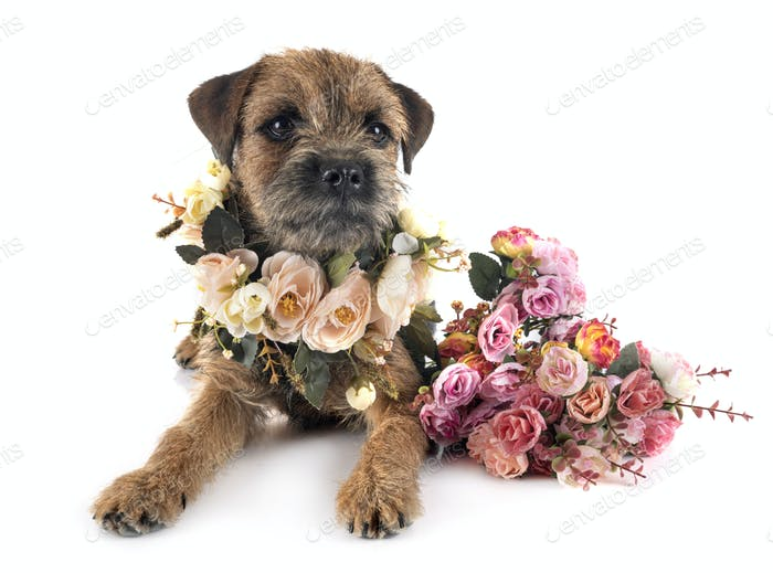 border terrier in studio