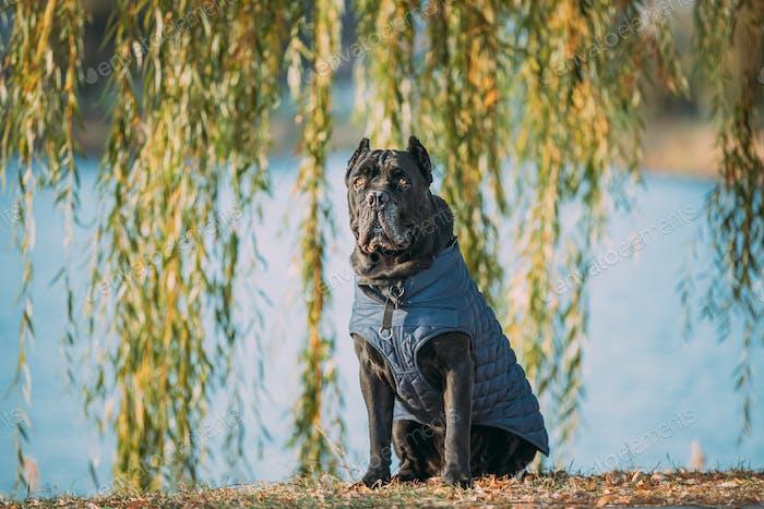 Schwarzer Stock Corso Hund sitzt in der Nähe von See unter Baumzweigen. Hund trägt in warmer Kleidung. Großer Hund