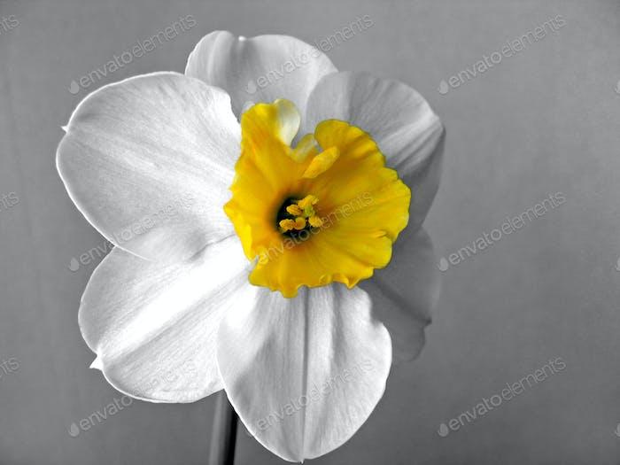 White daffodils (narcissus)