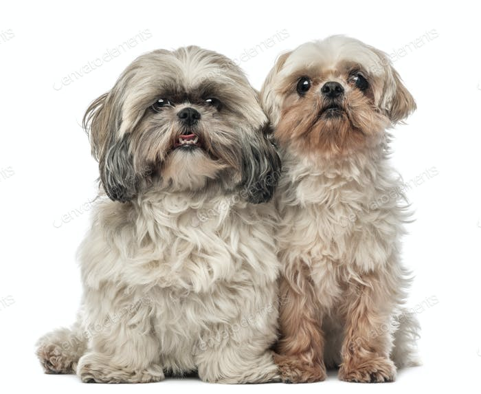 Old Shih Tzu, 14.5 years old, and Shih Tzu, 4.5 years old, sitting