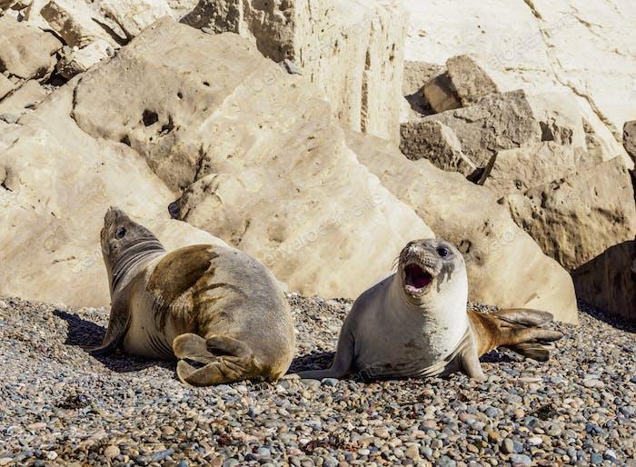 Southern Elephant Seal at Punta Ninfas, Patagonia, Argentina