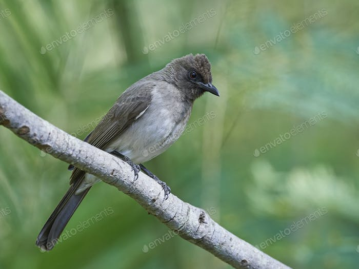 Bulbul (Pycnonotus barbatus)