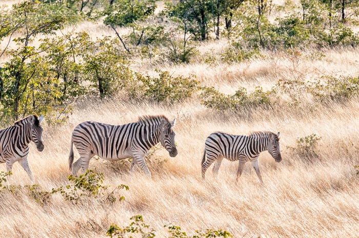 Burchells zebras walking in a grass and mopani shrub landscape