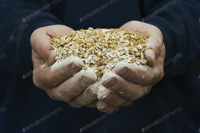 Close up of human hands holding golden malt, a major ingredient for flavouring craft beer.