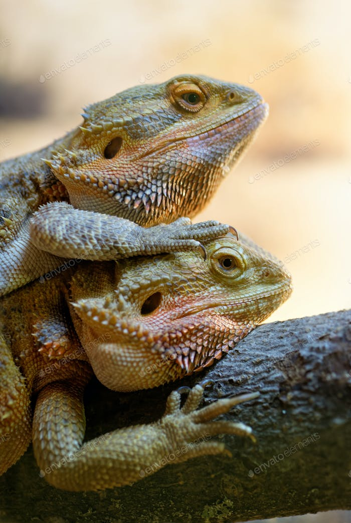 Couple of bearded dragons