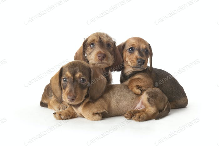 Family portrait of wire-haired dachshund puppies