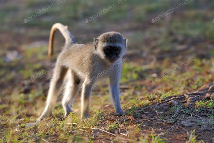 Thumbnail for Vervet monkey in national park of Kenya