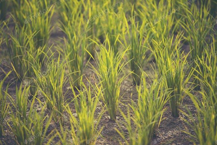 paddy field, rice field sunset
