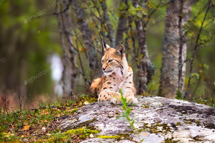 Lynx Resting On Rock Formation In Forest