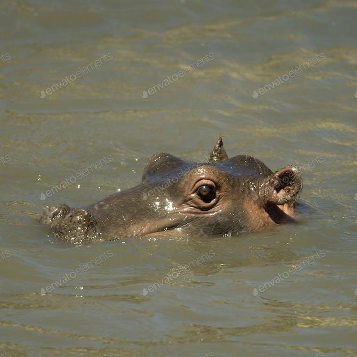 hippopotamus - Masai mara Kenya