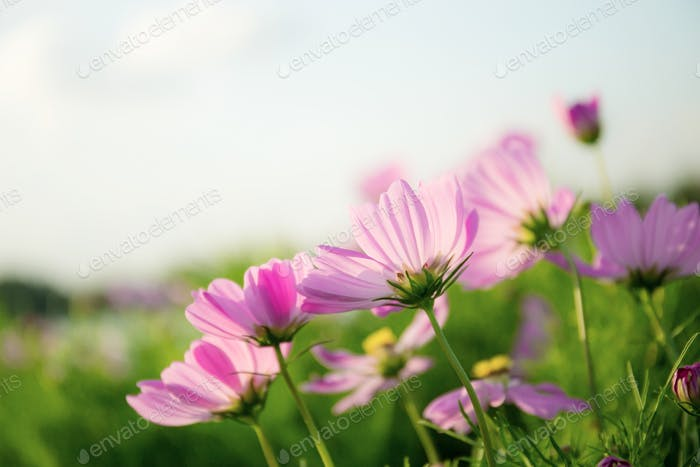 Pink cosmos in garden