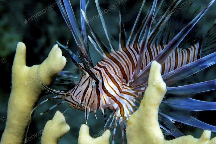 Invasive species, Lionfish (Pterois volitans) amid fire coral,Pacific ocean species in Caribbean Sea