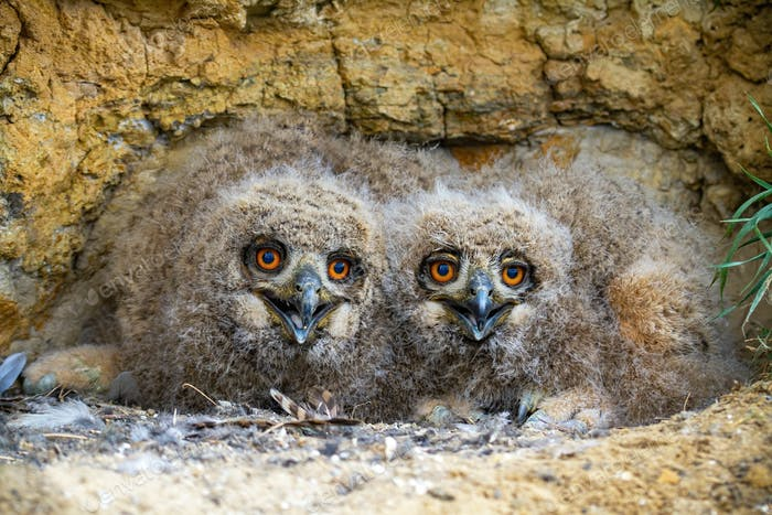 Cute eurasian eagle-owl younglings hiding under rocks of cliff and facing camera
