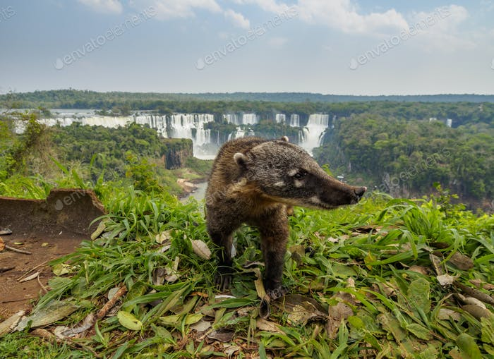 South American Coati by th Iguacu Falls in Brazil