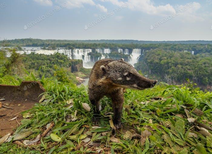 South American Coati by th Iguacu Falls in Brazil