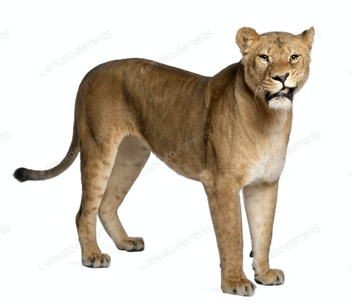 Lioness, Panthera leo, 3 years old, standing in front of white background